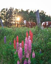 Cows look at the beautiful Lupins as Sun sets on Prince Edward Island