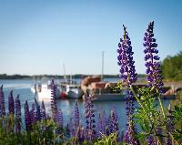 Sturgeon wharf sits in the background of these beautiful Prince Edward Island lupins.