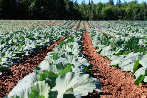 A PEI Farmer\'s Field during Summer on Prince Edward Island.